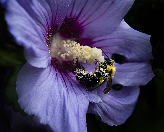 Hibiscus with Bee